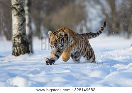 Siberian Tiger Running In Snow. Beautiful, Dynamic And Powerful Photo Of This Majestic Animal. Set I