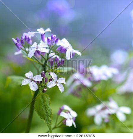 Honesty Flowers in the Springtime