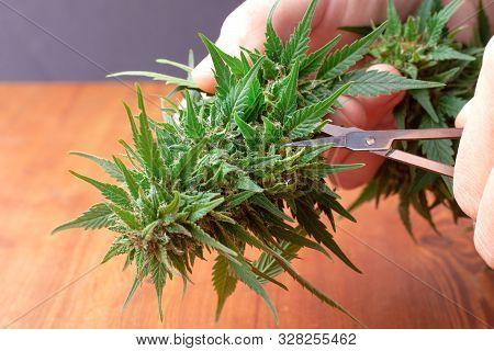 Processing Cannabis Buds To Make A Cure For Cancer,marijuana Natural Medicinal Plant To Enhance Enha