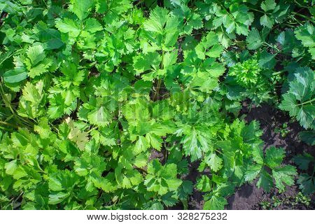 Celery Vegetable And Medicinal Plant Commonly Used As A Cooking Spice Celery Is Used By Its Leaves T