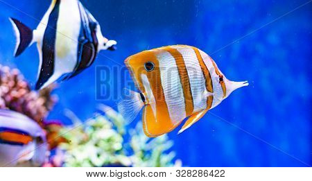 Red Sea Tropical Ornamental Fish, Colorful Angel Fish, Longnose Butterflyfish, Forceps Fish, Yellow