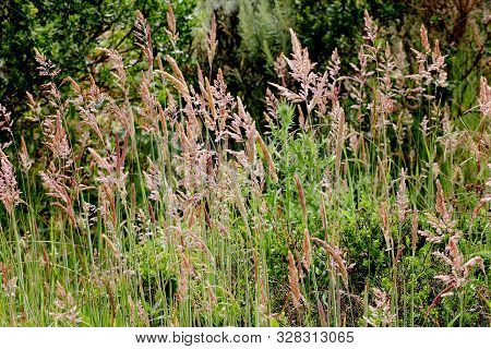 Tall, Coastal Reeds In A Forest At Marin Headlands, Sausalito, San Francisco, California