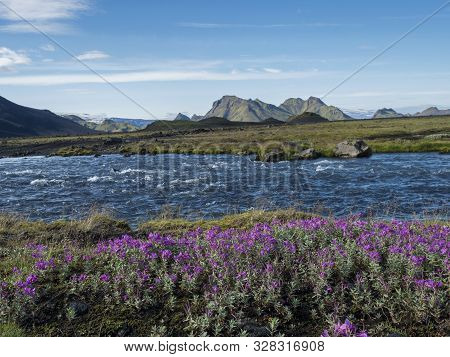 Beautiful Icelandic landscape with wild pink flowers, blue glacier river and green mountains. Blue sky background. in area of Fjallabak Nature Reserve on Laugavegur trek, Iceland poster