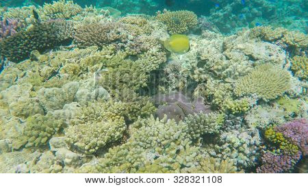 Butterflyfish On A Coral Reef At Heron Island