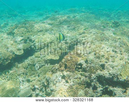 Moorish Idol Swimming On The Great Barrier Reef At Heron Island