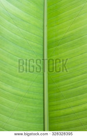 Green Banana Leaves On Background. Green Leaf Texture Or Leaf Background. Close Up Green Leaf. Natur