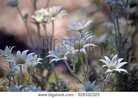 Australian Native Flannel Flowers, Actinotus Helianthi, Family Apiaceae, In The Dappled Light Of A W