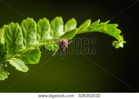 Wood Tick Hangs On A Leaf. Green Background. Lurking Wood Tick. Female Of The Tick Sitting On A Leaf