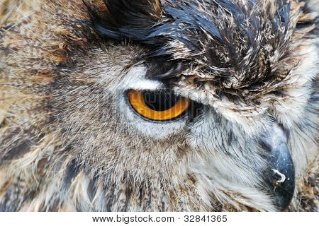 close up of owl head