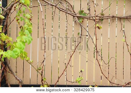 Beautiful Green Vine Is Beside The Wall