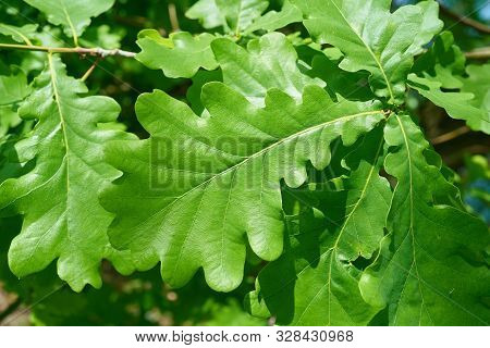 Leaves Of A Common Oak (quercus Robur) In Spring