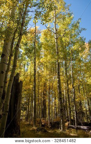Aspen trees with green and yellow leaves