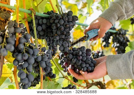 Man Crop Ripe Bunch Of White Grapes On Vine. Male Hands Picking Autumn Grapes Harvest For Wine Makin