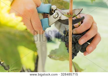 Man Crop Ripe Bunch Of Black Grapes On Vine. Male Hands Picking Autumn Grapes Harvest For Wine Makin