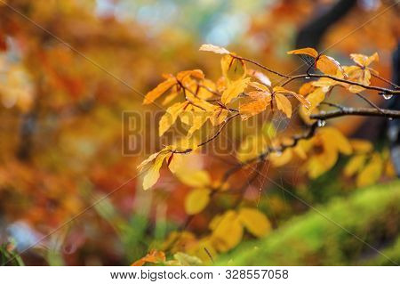 Yellow Leaf With Dew Drops On The Twig In Autumn Forest. Beautiful Autumnal Blurry Background