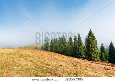 Spruce Trees On The Grassy Hillside On Foggy Morning. Breathtaking Autumn Scenery. Magical Nature Ba