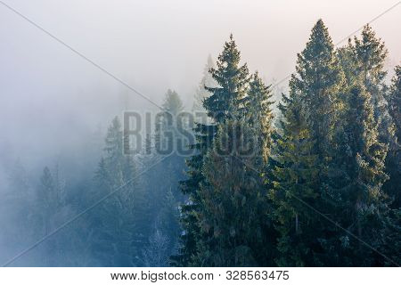 Spruce Trees In Mist And Hoarfrost. Beautiful Winter Nature Background