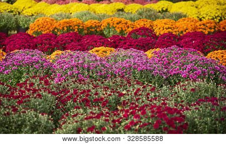 Rows Of Mums Of Many Colors For Sale At An Ohio Mum Festival, With Focus On The Pink Row