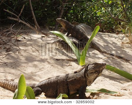 Feeding time for Iguanas