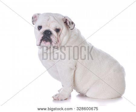 male English bulldog looking at view isolated on white background