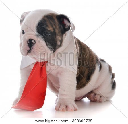 male English bulldog puppy wearing a red neck tie isolated on white background