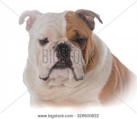 male English bulldog head portrait isolated on white background