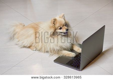 Dog Is Looking At Laptop, Smart Pomeranian Spitz Puppy And A Computer. Cute Funny Animal Is Looking