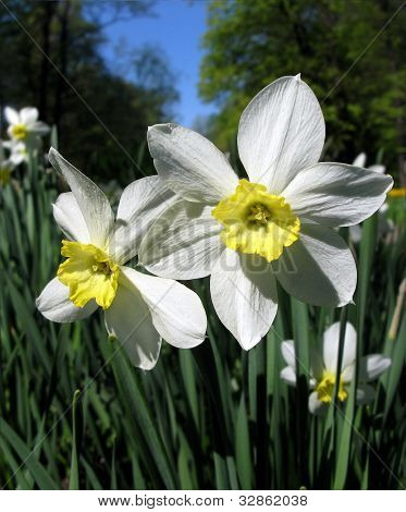 Narcissus flowers in the garden