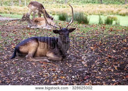 Look Of A Fallow Deer In The Midst Of Its Pack, Latin Dama Dama