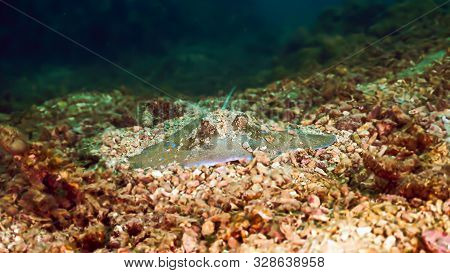 Underwaterphoto Of A Bluespotted Stingray From A Scuba Dive Off The Coast Of Aonang In Thailand.