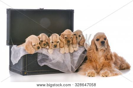 litter of mom with five cocker spaniel pups in a trunk on white background
