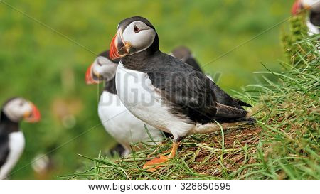 Puffin Bird. Sea Parrots. Iceland National Symbol