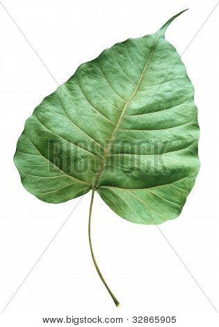 closer up detail of green dry leaf isolated white background