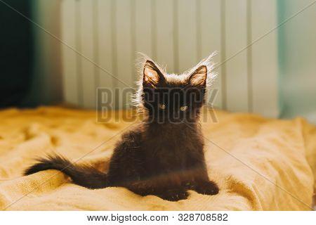 Black Fluffy Devil Kitten On A Yellow Background. Halloween, All Saints Night, Cute Pet. Copy Space.