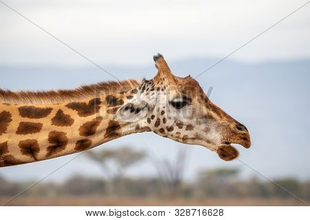 Rothschild's giraffe, Giraffa camelopardalis rothschildi, closeup of head and neck side view. Lake Nakuru National Park, Kenya. This species is endangered and decreasing in the wild.
