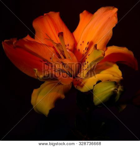 Close Up Of Lily Flowers On The Dark Background.