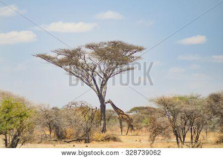 A Giraffe Looks For Food Under An Acacia Tree In Tarangire National Park In Tanzania, Africa