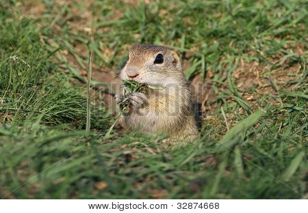 Beautiful European ground squirrel in the hole eating