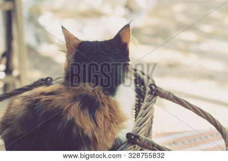 Longhair tricolor cat sits in a basket poster