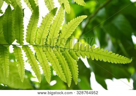 Vegetable Fern (diplazium Sp.) From Central Of Thailand