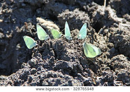 Butterflies Pieris Brassicae Sit On Dirt And Drink Water By Proboscis