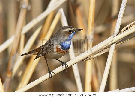 Bluethroat, luscinia Svecica standing on the reed