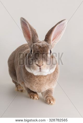 Portrait Of A Cute Domestic Light Brown Fur Rabbit