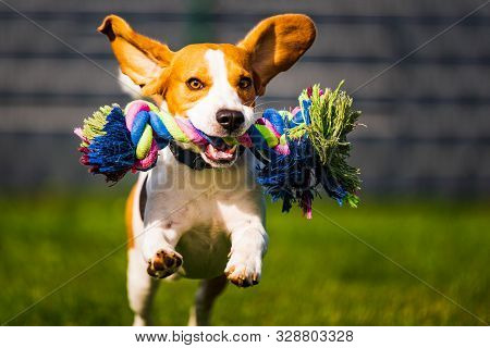 Beagle Dog Jumping And Running Like Crazy With A Toy In A Outdoor Towards The Camera