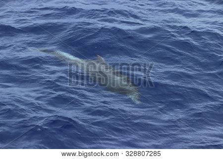 Dolphin Swimming Underwater In The Blue Ocean. Common Dolphin Delphinus Delphis In Natural Habitat.