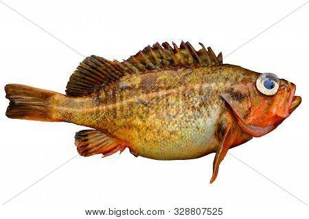 Alive Rockfish Sebastes Owstoni (owston Sting Fish, Redfish) Isolated On White Background. Alive Fre
