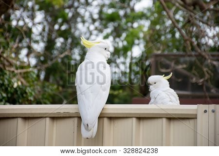 Sulphur-crested Cockatoo Seating On A Fence. Urban Wildlife. Australian Backyard Visitors