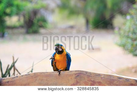 Blue And Yellow Macaw (ara Ararauna), Also Known As Blue-and-gold Macaw. This Macaw Lives In A Lodge