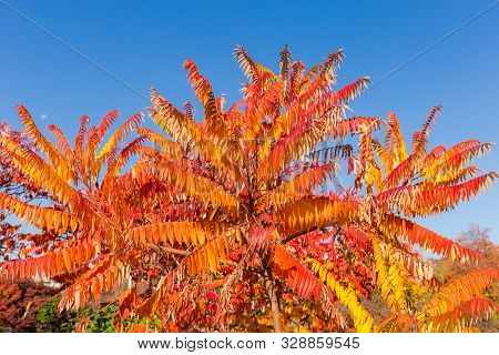 Treetop Of The Rhus Typhina, Also Known As Staghorn Sumac, Or Just Sumac With Bright Varicolored Aut