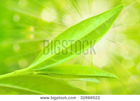 Tea tree (Thea sinensis). The leaves have been used in alternative medicine and other medical systems to treat asthma, angina pectoris, peripheral vascular disease, and coronary artery disease. poster
